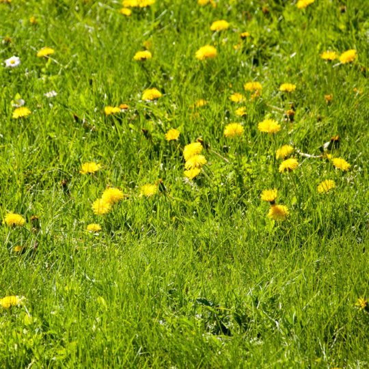 Dandelions in lawn