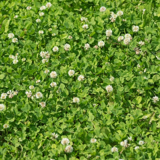 How to Get Rid of Clover on Your Lawn