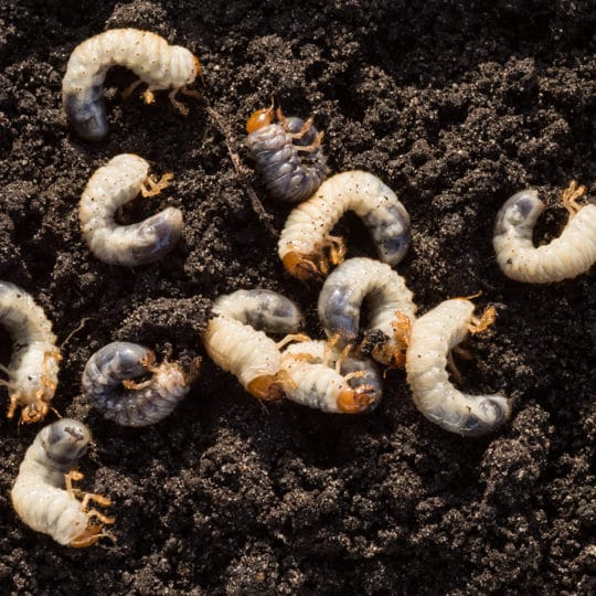 How to Check for Lawn Grubs