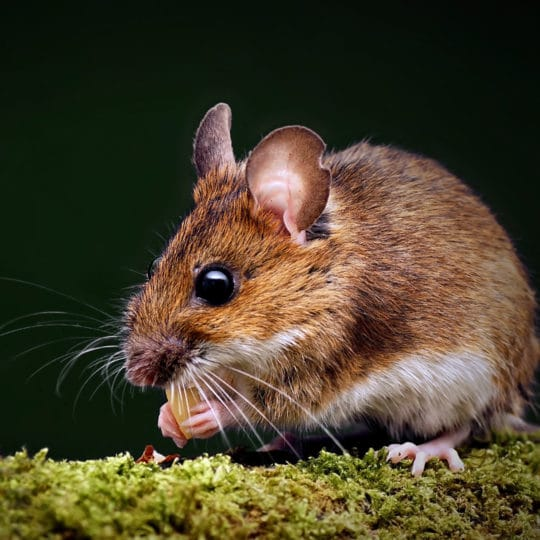 Rodent Entry Points: How They Get Inside